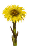 Gul blomma av tussilagot, lat Tussilagofarfara som isoleras på Arkivbilder