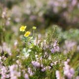 Gul blomma bland ljung Arkivfoto
