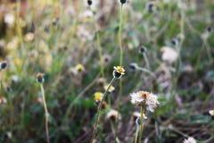 Gul blomma blommagräsbakgrund Arkivbilder