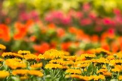 Gul blomma (Calendula) för bakgrund Royaltyfri Foto
