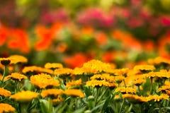 Gul blomma (Calendula) i trädgården Arkivfoto