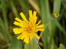 Gul blomma @ Crookham, Northumberland, England Royaltyfria Bilder