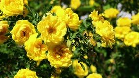 Gul blomma dogrose p? en solig bl?sig dag stock video