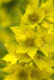 Gul blomma efter regn Arkivbilder