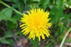 Gul blomma En växt, natur Levande foto På en grön bakgrund lövverk Maskros Makro Arkivfoto
