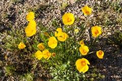 Gul blomma för Arizona öken arkivfoton