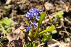Gul blomma för dvärg- iris Royaltyfria Bilder