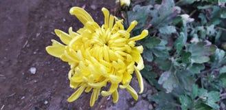 Gul blomma för krysantemum, closeupbakgrundstapet arkivbild