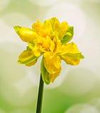 Gul blomma för påsklilja (pingstlilja), slut upp, gräsplan som gulnar lutningbakgrund Arkivbild