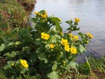 Gul blomma, flod Teith, Doune Royaltyfri Bild