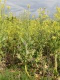 Gul blomma grönkål, en lek och skörd för jordbruksmarkfågelräkning royaltyfria bilder