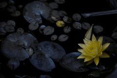 Gul blomma i dammet med sidor omkring royaltyfria bilder