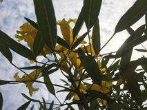 Gul blomma i den blåa himlen Arkivbilder