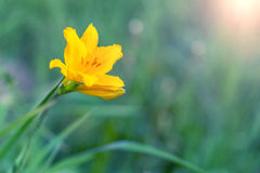 Gul blomma i det gröna gräset Royaltyfria Foton