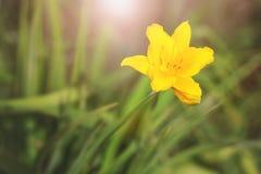 Gul blomma i det gröna gräset Arkivfoton