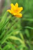 Gul blomma i det gröna gräset Royaltyfria Bilder