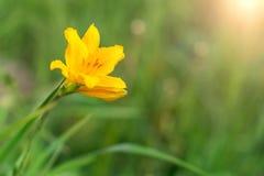 Gul blomma i det gröna gräset Royaltyfri Fotografi