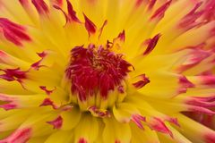 Gul blomma i en trädgård i makroskytte arkivbilder