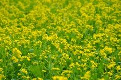 Gul blomma i fält Royaltyfria Foton