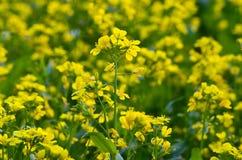 Gul blomma i fält Royaltyfri Bild