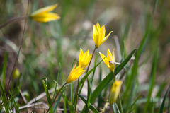 Gul blomma i frodigt grönt gräs Arkivbilder