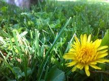 Gul blomma i gräsplanen Royaltyfri Fotografi