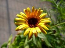 Gul blomma i solen Arkivbilder