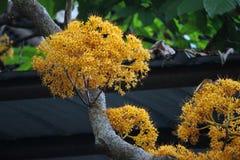 Gul blomma i sommar, Ascocentrum Minatum arkivbilder