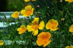 Gul blomma i trädgård Arkivbild