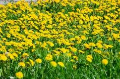 Gul blomma i trädgård Royaltyfri Foto