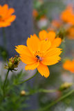 Gul blomma i trädgård med bilodlinje royaltyfria foton
