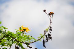 Gul blomma & knopp fotografering för bildbyråer