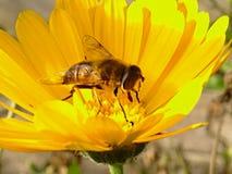Gul blomma med biet Arkivfoton
