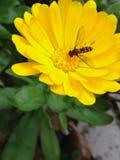 Gul blomma med biet Arkivbild