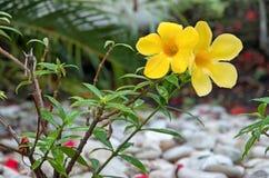 Gul blomma med dagg på en buske Arkivfoto