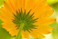 Gul blomma med raindrops Royaltyfria Foton