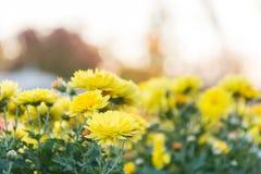 Gul blomma med väderkorn Fotografering för Bildbyråer