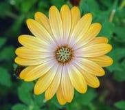 Gul blomma mot en grön bakgrund Fotografering för Bildbyråer