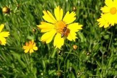 Gul blomma och bi Fotografering för Bildbyråer