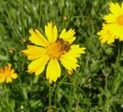 Gul blomma och bi Arkivbild