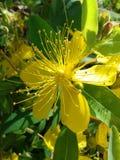 Gul blomma och blad Fotografering för Bildbyråer