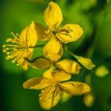 Gul blomma- och gräsplanbokeh royaltyfri foto