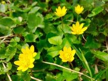 Gul blomma- och gräsplannaturbakgrund Royaltyfri Bild