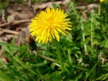 Gul blomma- och gräsplannaturbakgrund Fotografering för Bildbyråer