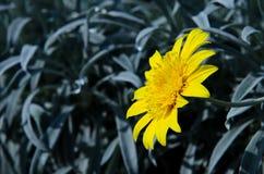 Gul blomma på bakgrund Arkivbilder