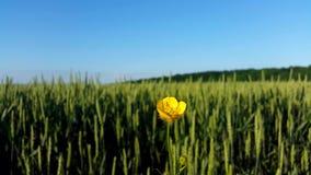 Gul blomma på en bakgrund av ett grönt fält lager videofilmer