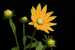 gul blomma på en svart bakgrund Royaltyfria Bilder