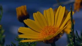 Gul blomma på havet lager videofilmer