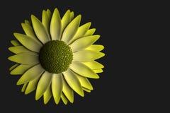 Gul blomma på mörk bakgrund Royaltyfri Fotografi