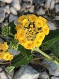 Gul blomma på parkera Royaltyfria Bilder
